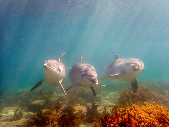 Dolphins-at-Goat-Island