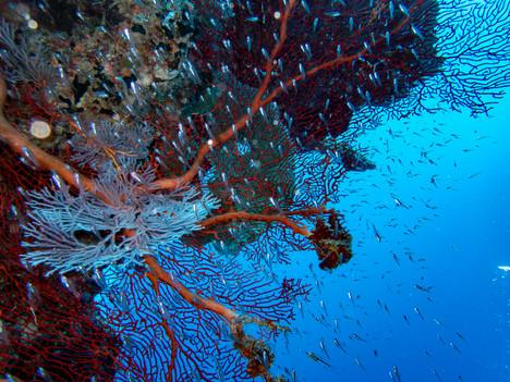 Gorgonian and fish.jpg
