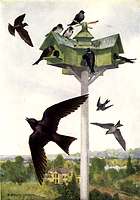 Purple Martin.png