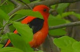 Scarlet Tanager01.jpg