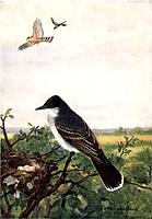 Kingbird.png
