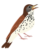 Wood%20Thrush%20Image%20SM_edited.png