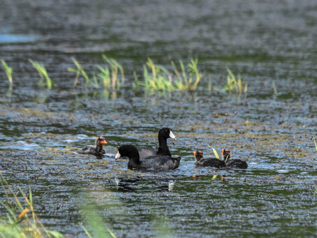 Kuehl Bird Magnets Attract Coots!