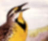 Meadowlark.png
