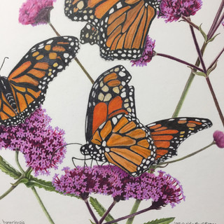 The Judge's Garden; Monarchs on Verbena bonariensis *SOLD
