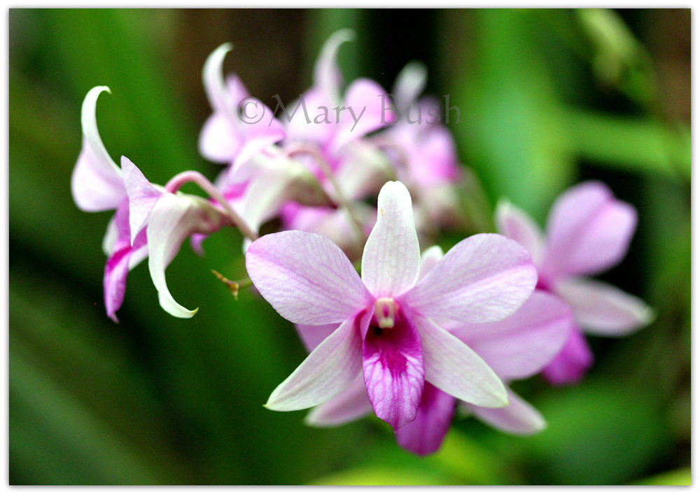 Singing Orchids