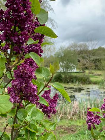 Lilacs In Bloom