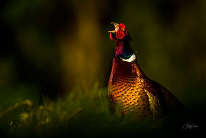 Pheasant for website.jpg
