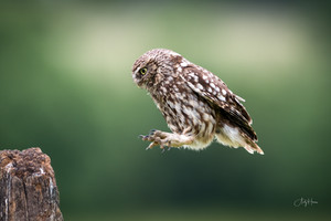 Owls and Ospreys - the 'Little and Large' of Birds of Prey