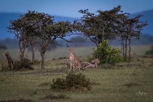 Cheetah and cubs-6.jpg