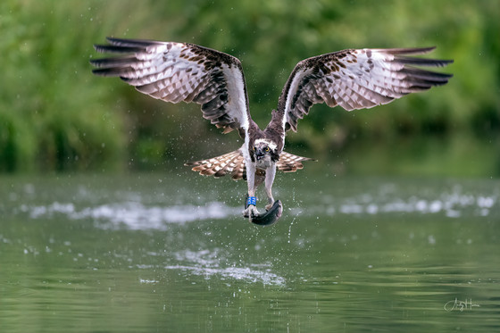 Outrageously outstanding Ospreys