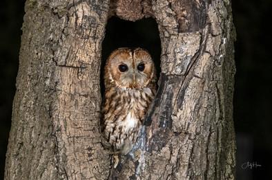 Owl in a hole.jpg