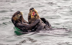 Sea Otter CWPA 18.jpg