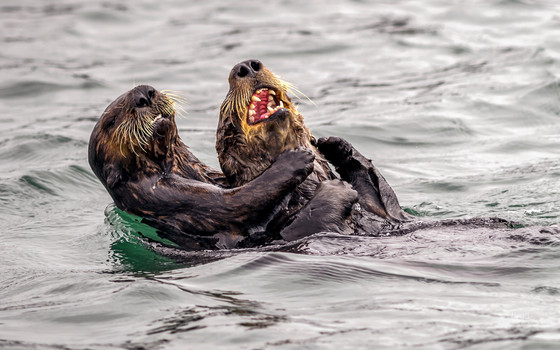My 'Sea Otter tickle fight' entry is a finalist in the Comedy Wildlife Photography Awards 20