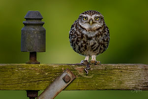 Little Owl at Nature Photography Hides.j