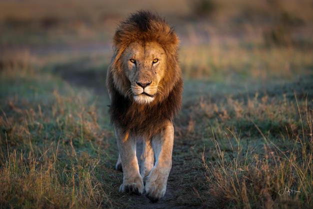 Lion face on.jpg