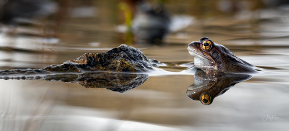 Frog and rock.jpg