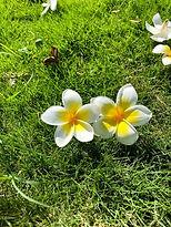 雞蛋花.jpg