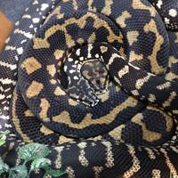 Mortician & Gomez the Carpet Pythons