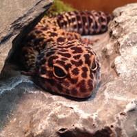 Roxy the Leopard Gecko