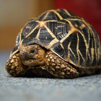 Sitara the Indian Star Tortoise