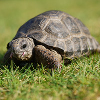 Bourbon the Aldabra Tortoise