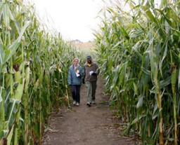 Creekbed Farmacy corn maze