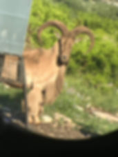 under 30 aoudad doorstep.jpg