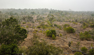 Kona_Sandalwood_Reforestation_Project—BI
