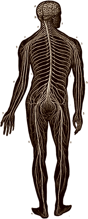 Nervous system drawing.png