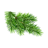 transparent-spruce.png