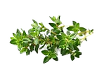 thyme_edited.png
