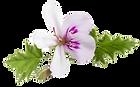 geranium_edited.png