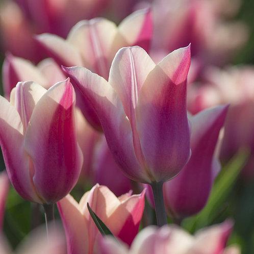 Sanne Tulip Bulb