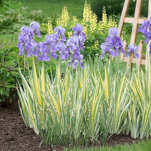 Iris pallida 'Variegata'