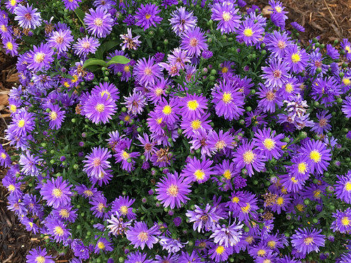 Aster KICKIN® 'Lilac Blue'