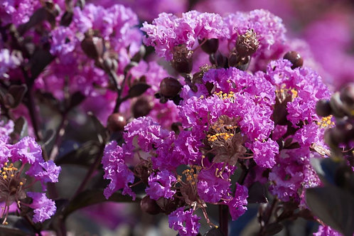 Black Diamond® Purely Purple Crape Myrtle