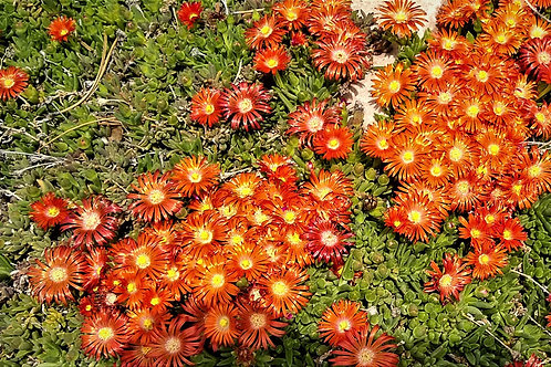 Delosperma 'Granita Orange' Ice Plant