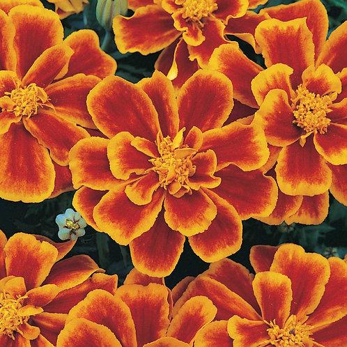 Marigolds Durango Flame