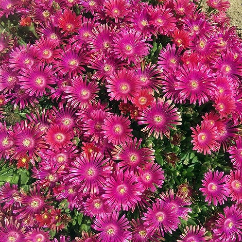Delosperma GRANITA® Raspberry Ice Plant
