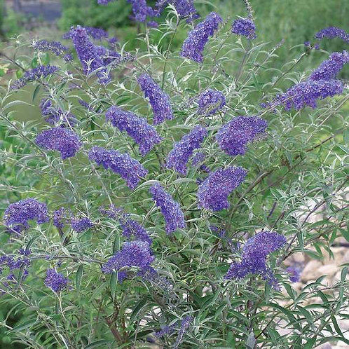 Nanho Purple Butterfly Bush