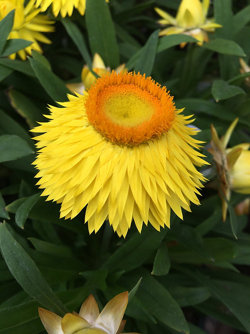 Bracteantha bracteata Dreamtime 'Yellow'