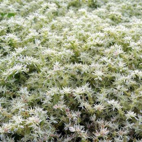 Sedum Ternatum (Stonecrop)