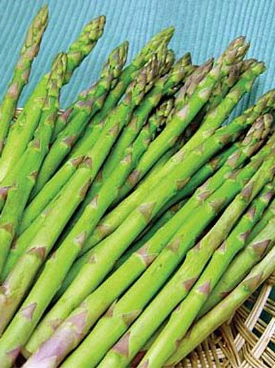 Asparagus, Jersey Knight (roots)