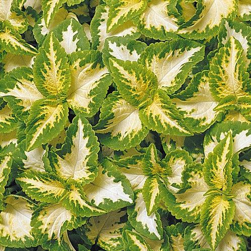 Coleus Wizard 'Jade Green Yello'