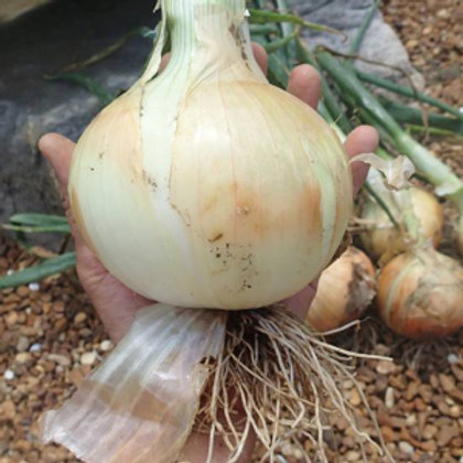 1015Y Texas SuperSweet Onion Plants