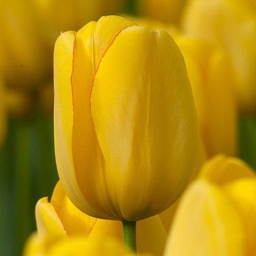 Best Yellow Tulip Bulb