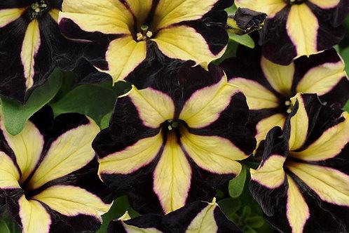 Petunia Supertunia 'Phantom'