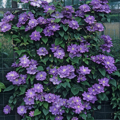 Blue Explosion Clematis