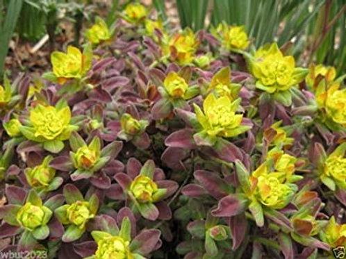 Euphorbia Polychroma 'Bonfire